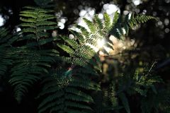 Backlit bracken ferns and fine spiderwebs at sunset in a pacific northwestern forest with soft-focus background and subtle lens fl stock photo