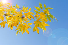 Backlit branch of autumn tree with yellow leaves Stock Images