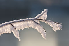 Backlit branche with snow. A branch with a lot of snow frozen on it is lit in the morning light Stock Photos