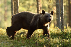 Backlit brown bear. Brown bear walking in backlit at summer. Royalty Free Stock Photography