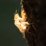 Backlit Brown Cicada Shell on Tree in Sydney, Australia Royalty Free Stock Images