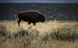 Backlit Buffalo. A buffalo crosses Antelope Flats at sunset, in Grand Teton National Park, Wyoming Royalty Free Stock Photo