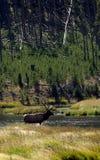 Backlit Bull Elk Crossing Stream Stock Photography