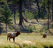 Backlit Bull Elk and Doe. In their environment royalty free stock photos
