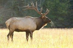 Backlit bull moose in rut Royalty Free Stock Photo