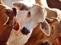 Backlit Bulls. Bulls photographed near Rockhampton, the Beef Capital of Australia royalty free stock photo