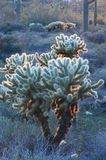 Backlit Cactus Cholla stock foto