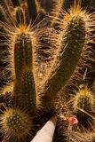 Backlit cactus plants at sunset, Majorelle garden in Marrakech, Morocco Stock Photos