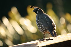 Backlit California quail Royalty Free Stock Photography