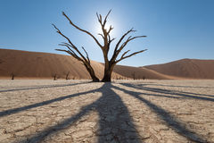 Backlit camel thorn tree in Deadvlei, Namibia Royalty Free Stock Image