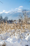 Backlit Cattails in Snow Stock Image