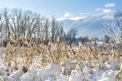 Backlit Cattails in Snow Stock Images