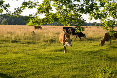 Backlit cattle grazing in a field at sunset. Backlit cattle grazing in a green field at sunset Royalty Free Stock Image