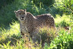 Backlit Cheetah Royalty Free Stock Images