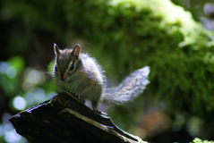Backlit chipmunk in Forest Stock Images