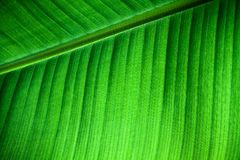 Green natural background: details fresh banana leaf structure with midrib diagonal to the frame and visible leaf veins and grooves. Backlit close up details of Stock Images