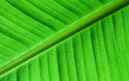 Backlit close up details of fresh banana leaf structure as a natural texture green background Stock Photo