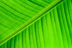 Banana leaf surface as fresh green natural background: backlit close up details of fresh banana leaf structure macro close up Stock Images