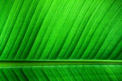 Banana leaf background: backlit details of fresh banana leaf structure macro close up photo as natural background Royalty Free Stock Photography