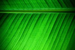 Backlit close up details of fresh banana leaf structure with midrib parallel to the frame on upper third and visible leaf veins Stock Photos