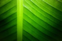 Backlit close up details of fresh banana leaf structure eco green texture background. Backlit close up details of fresh banana leaf structure with midrib Stock Images