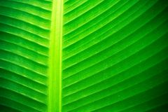 Backlit close up details of fresh banana leaf structure with midrib perpendicular to the frame Royalty Free Stock Photography