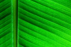 Backlit close up details of fresh banana leaf structure as a natural texture eco green background Stock Photos