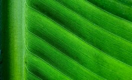 Backlit close up details of fresh banana leaf structure with midrib perpendicular to the frame eco green background texture Royalty Free Stock Photos