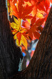Backlit Closeup of Colorful Autumn Foliage. Vibrant red, orange, yellow leaves of a Japanese Maple tree are seen back-lighted by the sun and contrasted by the Stock Image