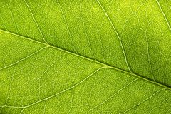 Backlit closeup macro of green leaf with textured structure, cell and vien.  royalty free stock photos