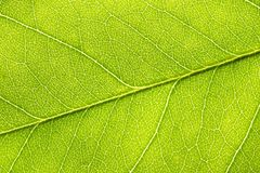 Backlit closeup macro of green leaf with textured structure, cell and vien.  stock photography