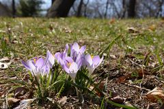 Backlit clump of crocuses in sunshine Royalty Free Stock Photos