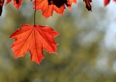 Backlit Copper Maple Leaf Stock Image