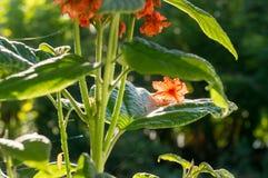 Backlit cordia sebestena flowers on leaf Stock Photo