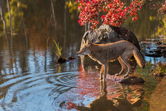 Backlit Coyote (Canis latrans) on Edge of Pond Stock Images