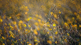 Backlit of Crotalaria field Royalty Free Stock Photography