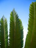 Backlit Cycad Leaves. Agains a Sunny Blue Sky Stock Photos