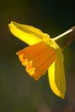 backlit daffodil Стоковая Фотография RF