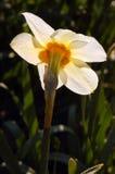 Backlit Daffodil Zdjęcia Stock
