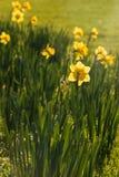 Backlit daffodils Zdjęcie Royalty Free