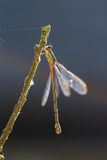 Backlit damselfly Royalty Free Stock Images