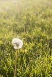 Backlit dandelion Stock Image