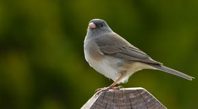 Backlit Dark Eyed Junco Royalty Free Stock Photo