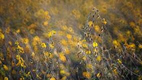 Backlit del campo di Crotalaria Fotografia Stock Libera da Diritti