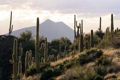 Backlit Desert Scene. In the late afternoon, the sky is unsettled over the Sonoran Desert and light plays on the spines of Saguaro cacti near Phoenix, Arizona Stock Image
