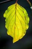 Backlit dogwood leaf Royalty Free Stock Photo