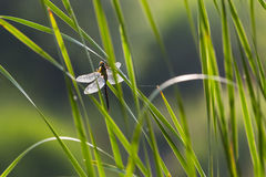 Backlit Dragonfly on Green Reeds. Stock Photo