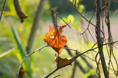 Backlit dry leaf on pricker tree Stock Images
