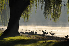Backlit ducks on sunrise Stock Photo