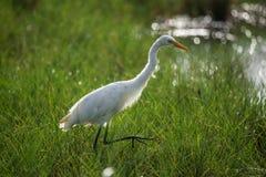 Backlit Egret w zielonym polu Zdjęcie Stock